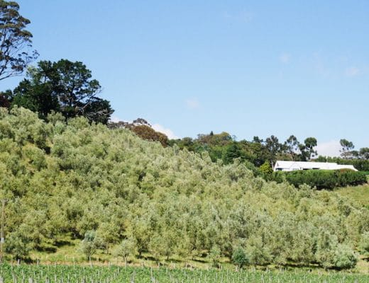 Olive grove in Havelock North, Hawke's Bay, New Zealand